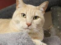 Domestic Short Hair - Bruno - Medium - Adult - Male -