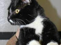 Domestic Short Hair - Bubba - Large - Young - Male -