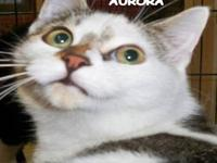 Domestic Short Hair - Buff and white - Aurora - Medium
