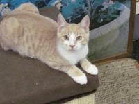 Domestic Short Hair - Buff and white - Barry - Medium -