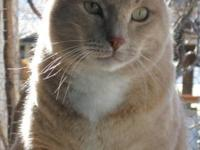 Domestic Short Hair - Buff and white - Chaco - Medium -