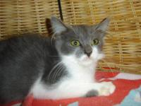 Domestic Short Hair - Buff and white - Gibbs- New Hope