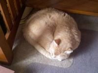 Domestic Short Hair - Buff and white - Margate - Small