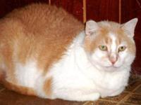 Domestic Short Hair - Buff and white - Stella - Small -