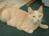 Domestic Short Hair - Buff - Chandler - Large - Baby -