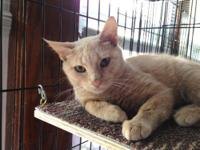 Domestic Short Hair - Buff - Decker - Medium - Young -