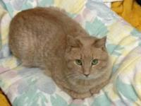 Domestic Short Hair - Buff - Godric - Medium - Adult -