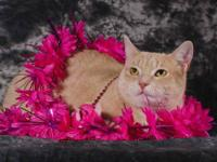 Domestic Short Hair - Buff - Gordon - Medium - Young -