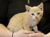 Domestic Short Hair - Buff - Kirk - Small - Baby - Male