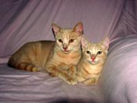 Domestic Short Hair - Buff - Marco - Medium - Young -