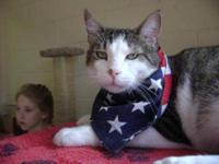 Domestic Short Hair - Buff - Murphy - Extra Large -