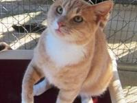 Domestic Short Hair - Buff - Stanley - Medium - Adult -