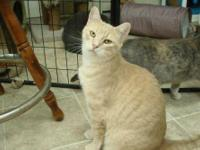 Domestic Short Hair - Buff - Tucker - Large - Young -
