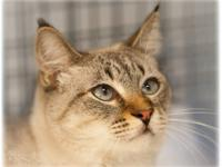 Domestic Short Hair - Buff - Tybee - Medium - Adult -