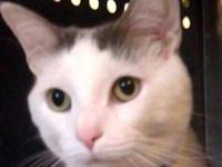 Domestic Short Hair - Bugsy Malone - Large - Adult -