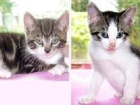 Domestic Short Hair - Buster & Buddy - Medium - Baby -