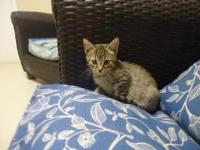 Domestic Short Hair - Butter Finger - Small - Baby -