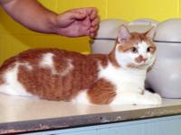 Domestic Short Hair - Butterscotch - Small - Adult -