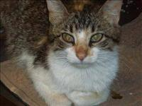 Domestic Short Hair - Buttons - Small - Young - Female