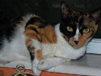 Domestic Short Hair - Cali - Medium - Adult - Female -