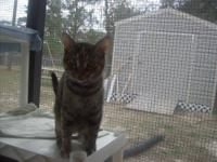 Domestic Short Hair - Cali - Small - Adult - Female -