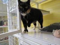Domestic Short Hair - Callie - Small - Adult - Female -