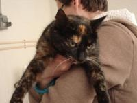 Domestic Short Hair - Callie - Small - Young - Female -