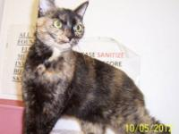 Domestic Short Hair - Calypso - Medium - Adult - Female