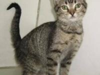 Domestic Short Hair - Cannoli - Medium - Young - Female