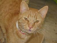 Domestic Short Hair - Caren - Medium - Adult - Female -