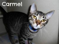 Domestic Short Hair - Carmel - Medium - Young - Male -