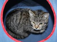 Domestic Short Hair - Carrie - Small - Young - Female -