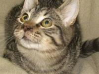 Domestic Short Hair - Carusso - Medium - Adult - Male -