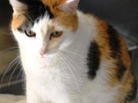 Domestic Short Hair - Cassie - Large - Adult - Female -