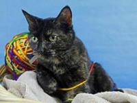 Domestic Short Hair - Catalina - Small - Adult - Female