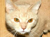 Domestic Short Hair - Cats R Us - Small - Young - Male