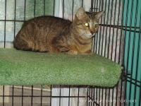 Domestic Short Hair - Cats - Small - Adult - Female -