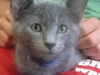Domestic Short Hair - Caylee - Medium - Baby - Female -