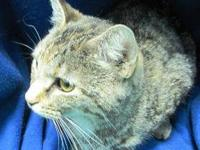 Domestic Short Hair - Cece - Medium - Adult - Female -