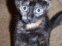 Domestic Short Hair - Celia - Small - Baby - Female -