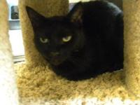 Domestic Short Hair - Celia - Small - Senior - Female -