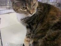 Domestic Short Hair - Chalk - Medium - Senior - Female