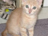 Domestic Short Hair - Chance - Small - Young - Male -
