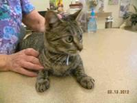 Domestic Short Hair - Charley - Small - Young - Female