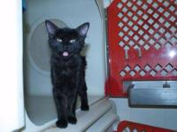 Domestic Short Hair - Charlie - Medium - Young - Male -