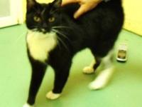 Domestic Short Hair - Chaz - Medium - Adult - Female -