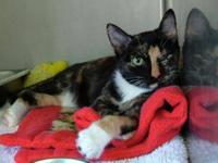 Domestic Short Hair - Chelsey - Medium - Young - Female