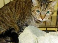 Domestic Short Hair - Chessey - Medium - Adult - Female