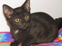 Domestic Short Hair - Chevy - Small - Baby - Male -