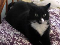 Domestic Short Hair - Chief - Medium - Adult - Male -